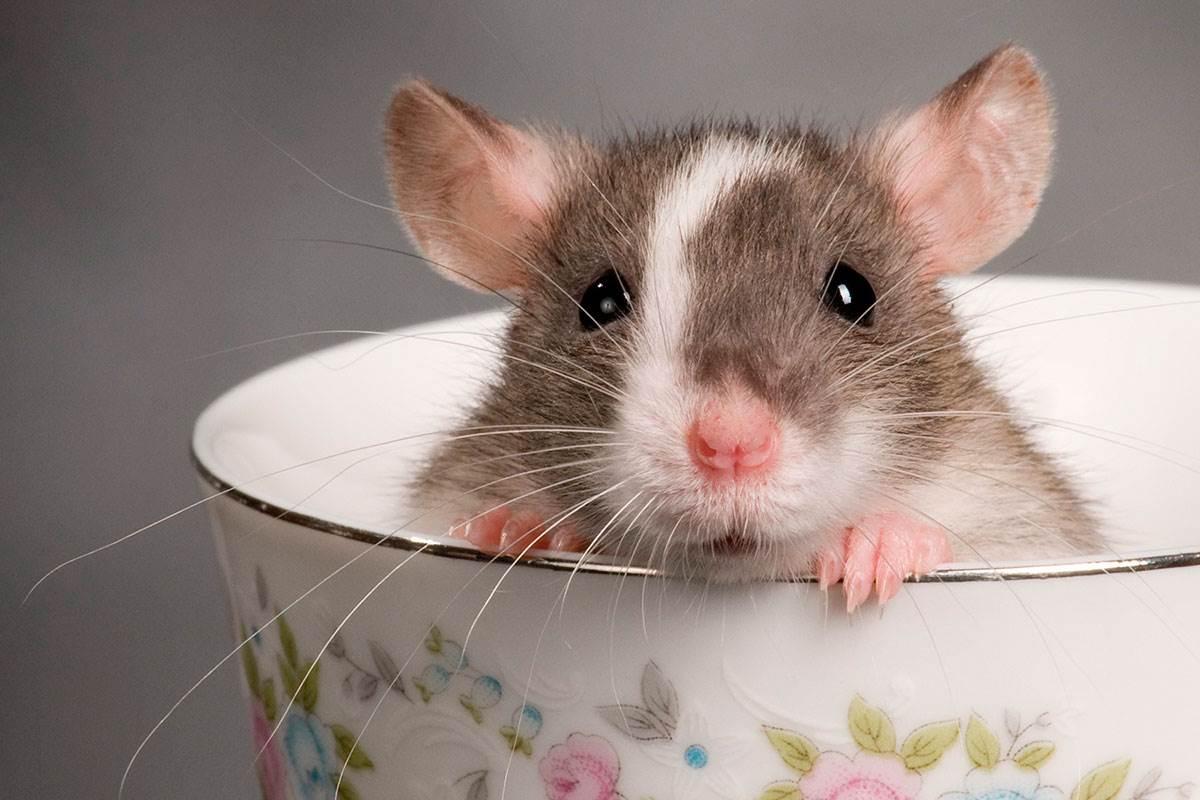 рожденные под знаком крысы 2008